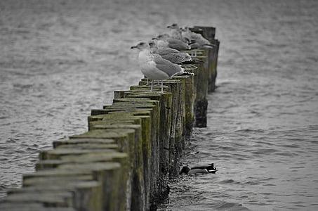 นกนางนวล, ทะเลบอลติก, groyne, น้ำ, นกน้ำ, ชายฝั่ง, ขนนก