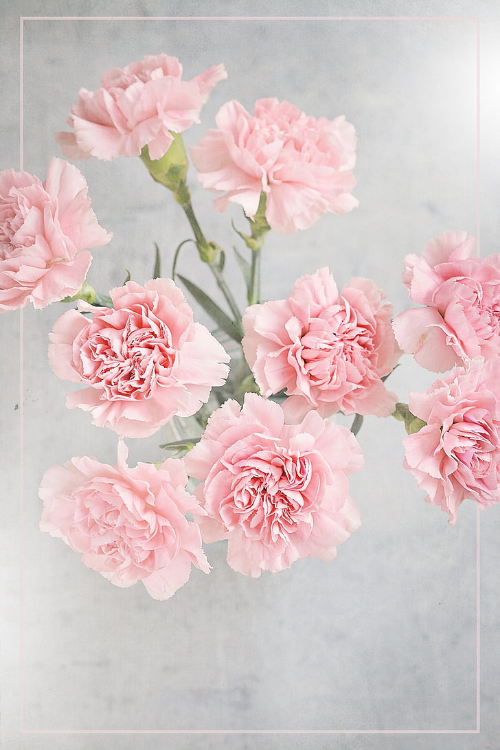 gėlės, gvazdikėliai, rožinė, rožinės gėlės, skintos gėlės, iš viršaus, uždaryti