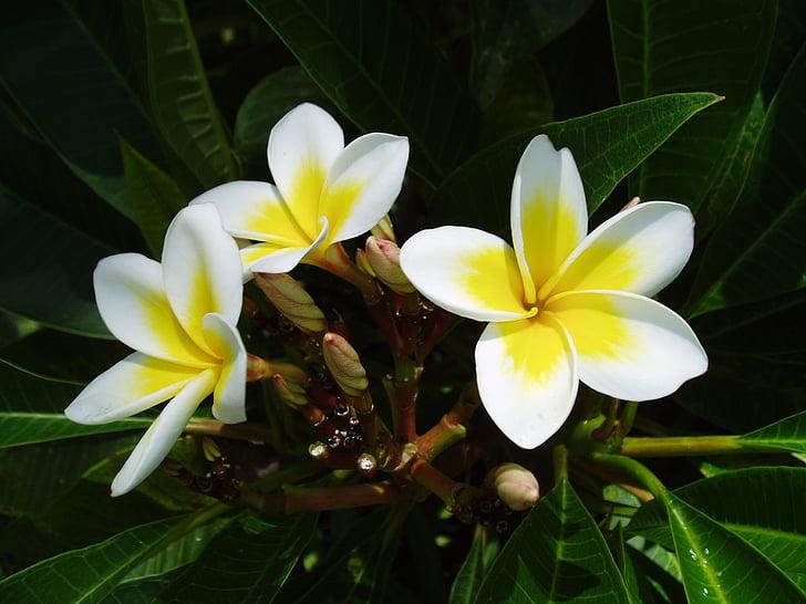 екзотичні, квітка, Тропічна, червоного жасмину