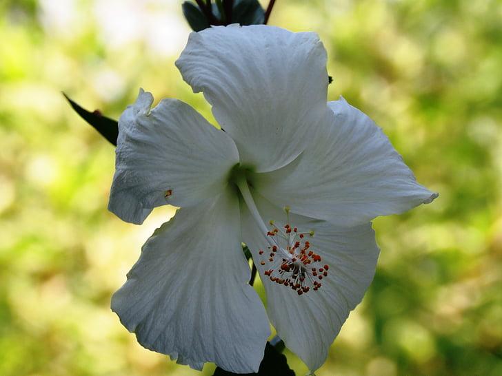 Poślubnik rosa sinensis, gėlė, balta, vaistažolių