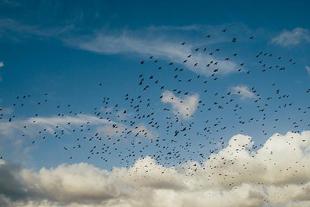 hälytys, ahdistus, sininen, pilvet, varikset, lento, parvi