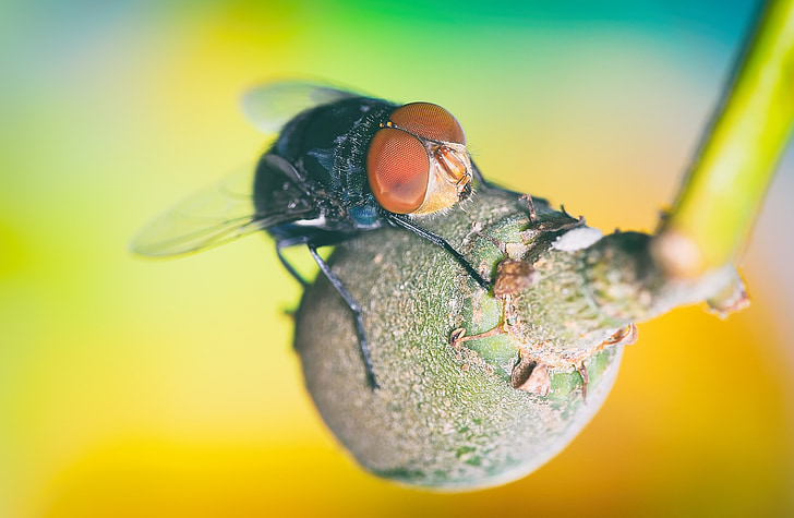 makro, muša, kukaiņi, zaļa, spārnu