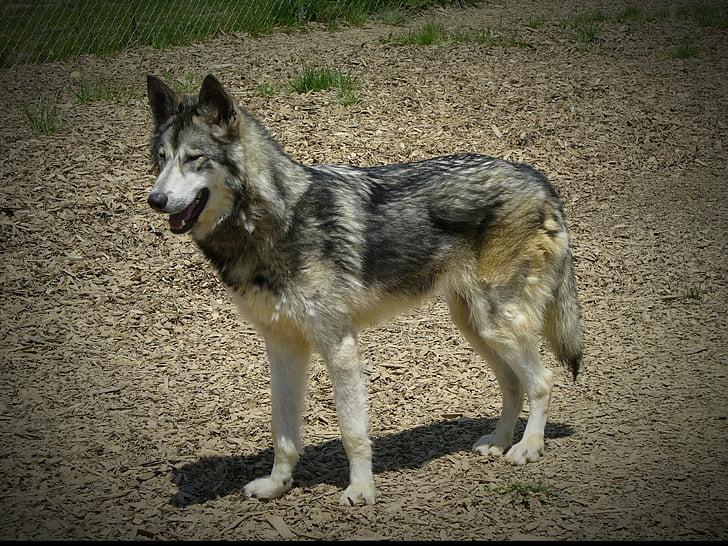 wolf hybrid, wildlife, animal, wolf, timber, hybrid, mammal