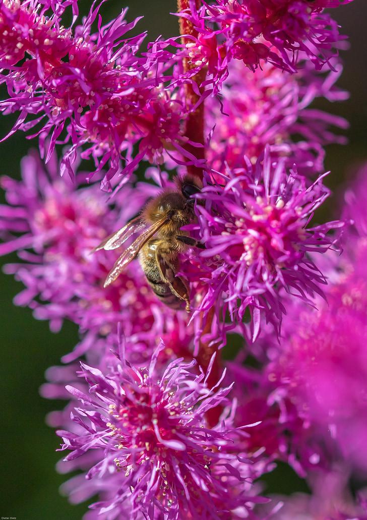 spiere, prachtspiere, Astilbe, Bite, kukainis, puķe, dārza