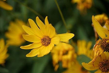 lilled, kollane, loodus, kollane lill, Aed, Makro, taim