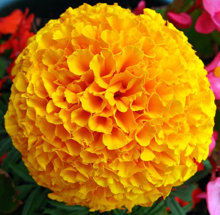 flor, Calèndula, francès, groc, floral, natura, macro