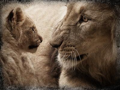 lion, lion cub, baby animal, animal, wild animal, animal world, mammal