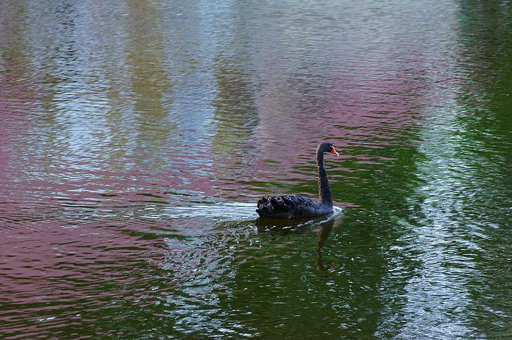 езеро, лебед, лято, лебеди, вода, природата, езерото
