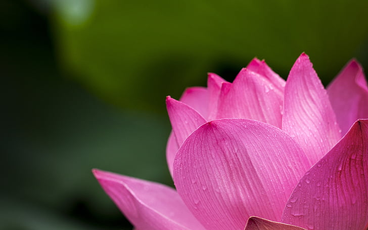 lotus, pink, nature, flowers, water Lily, lotus Water Lily, plant