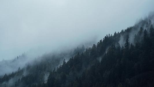 хвойних дерев, Темний, ялинки, туман, Туманний, ліс, туманні