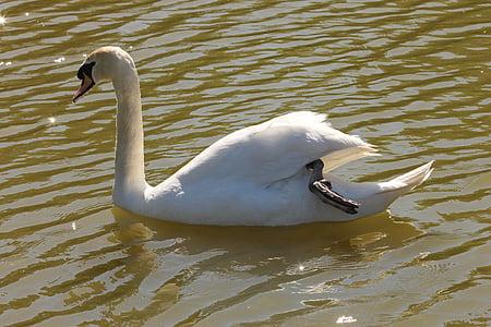 swan, nature, animals, bird, pond