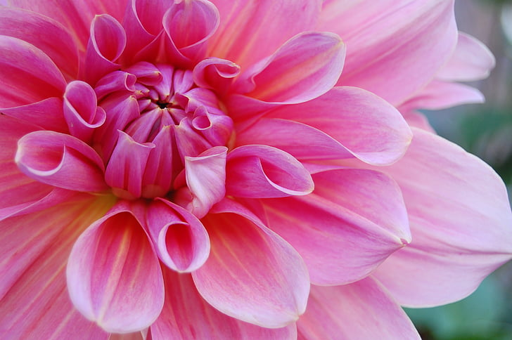 flower, pink, nature, blossom, petals, bloom, spring