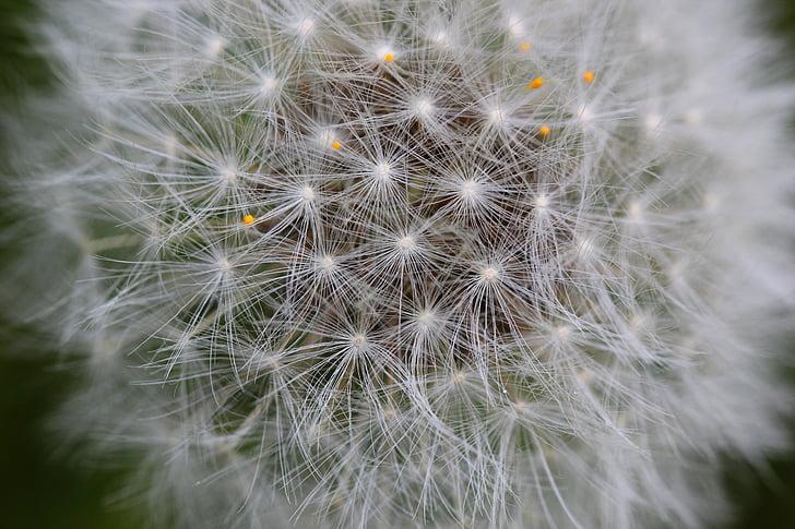 seemne, lill, loodus, võilill, orgaaniliste, Weed, botaanika