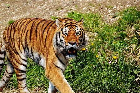 Tiger, Predator, turkis, Kaunis, vaarallinen, kissa, luontokuvaukseen