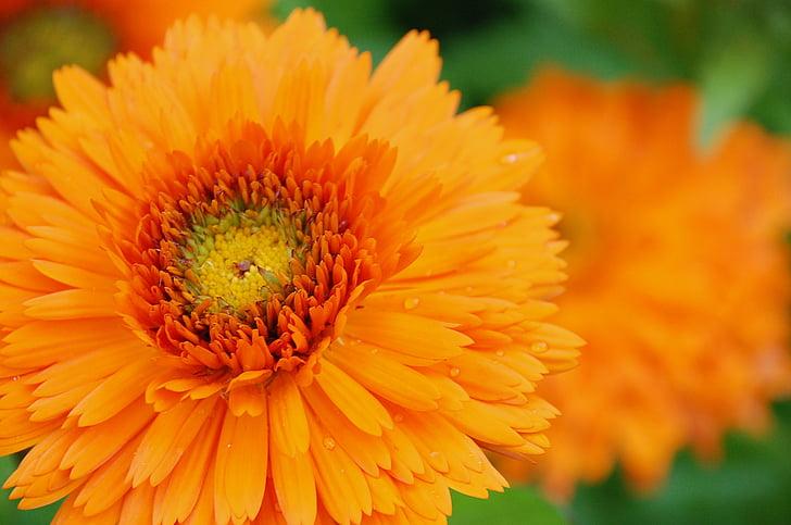 Calèndula, taronja, flor, flora, colors, botànic, jardí