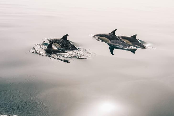 Delfiinit, hyppy, lasimainen, vesi, sileä, rauhallinen, Ocean