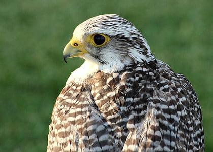ave, bird of prey, falconry, one animal, bird, animal wildlife, animals in the wild