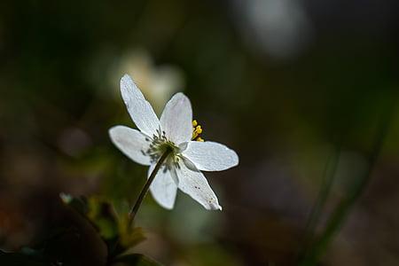 anemone lesa, pomlad, cvet, bela