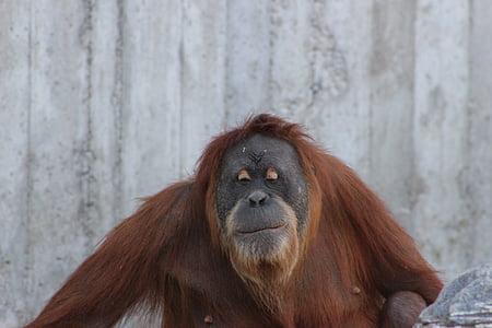 Orangutan de, Simi, natura, Orangutan flamencs, primats, mico, animal