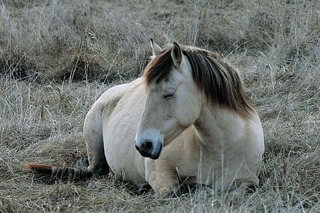con ngựa, con ngựa, Mare, động vật, Mane, Thiên nhiên, ngựa