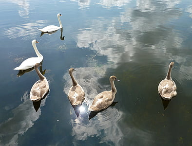 swans, nature, water, white swan, boy, animals, swan