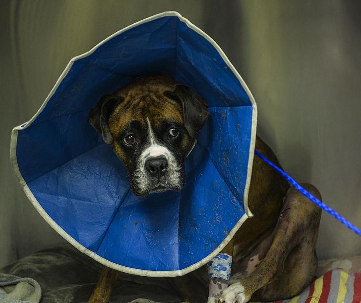 boxer, dog, canine, animal, pet, neck cone, elizabethan collar