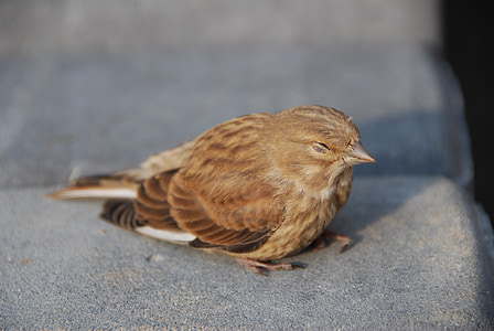 врабче, птица, природата, перо, сънливи птица