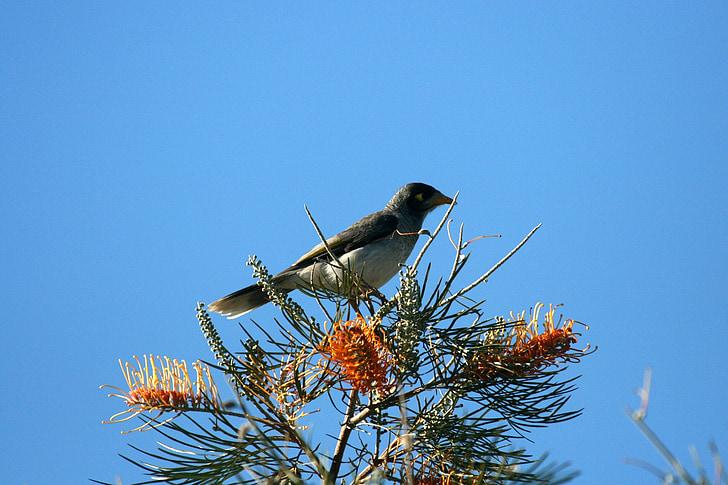ptica, smuđ, grana, priroda, kolac, Životinjski svijet, Australski