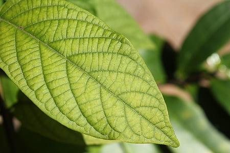 fulles, verd, planta, natura, natural, medi ambient, fullatge