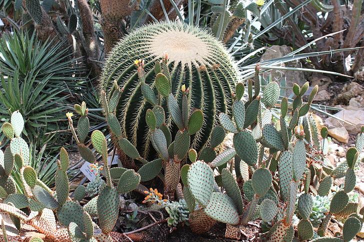 botanische tuin, Cactus, Tuin, doornen, natuur, groen