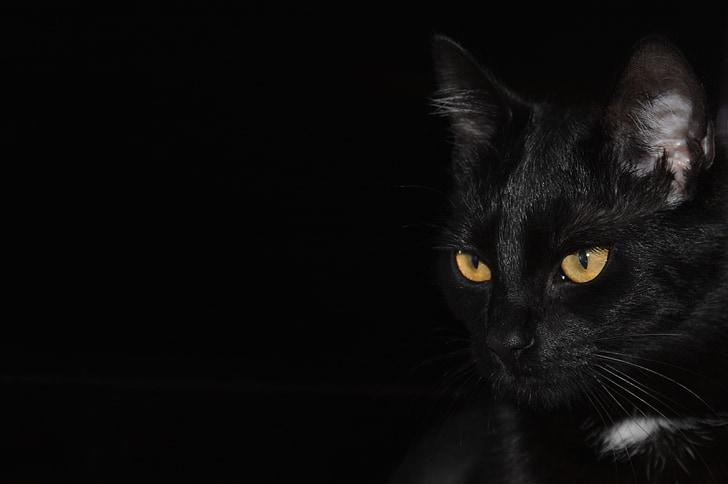 chat, fond noir, yeux de chat, yeux, animal, chat noir, noir