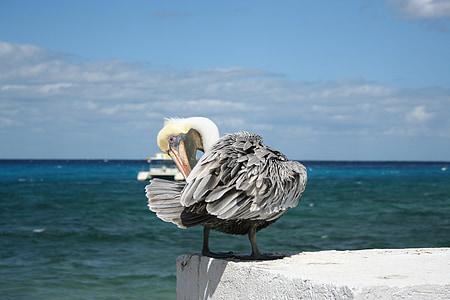 pelican, bird, mexico, cozumel, yucatan