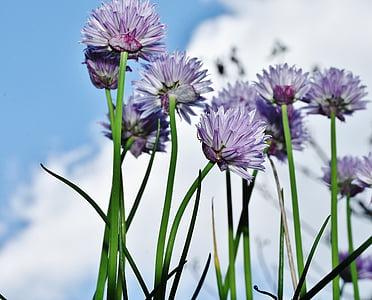 cebollino, flor, floración, flores de cebollino, cerrar, naturaleza, especia