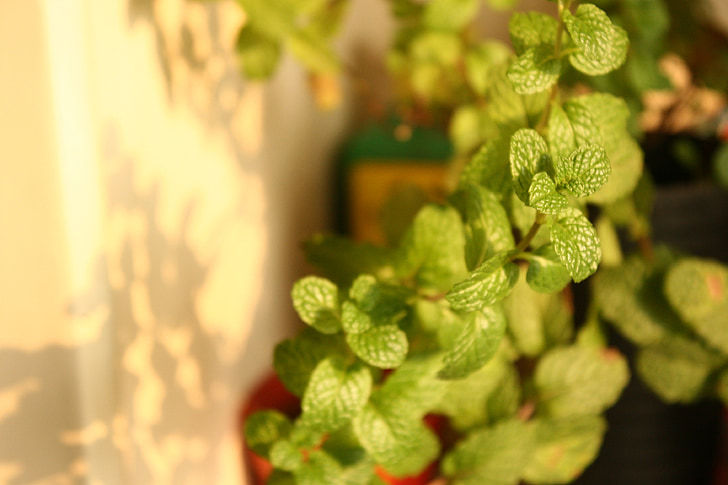mint, plant, green plants