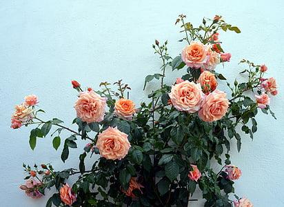 Róża, wspinaczki Róża, ogród, Bloom, kwiat, zapach, kwiat