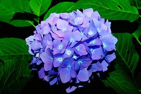 flors, hortènsies, flor, blau, inflorescència, flors d'Hortènsia, Hortènsia d'efecte hivernacle