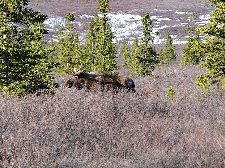 ant, salvatge, natura, vida silvestre, Alaska, Denali