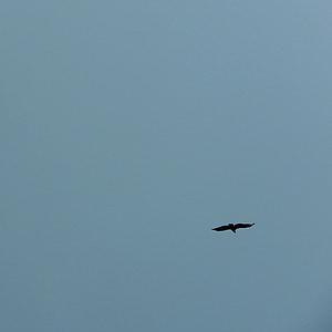 Ave, gökyüzü, kanatları, martı, Uçuş, sinek, kuş