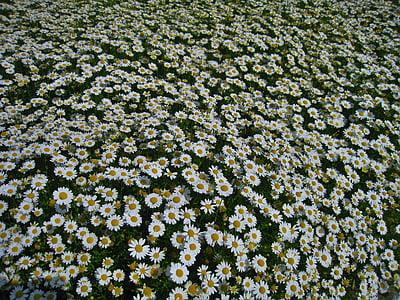 Margarida, Margaret, innombrables, gregariousness, un costat, jardí de flors, flors