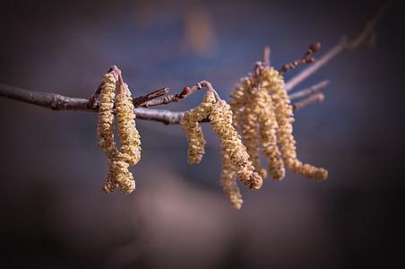 common hazel, hazel, branch, male kitten, little worm, nature, winter