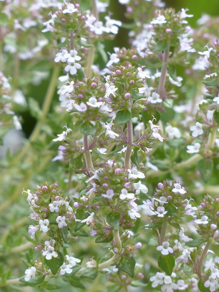 farigola real, herba, herbes de cuina, farigola, farigola romana, kuttelkraut, jardí farigola