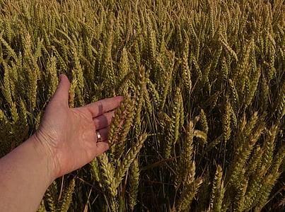 nisu, nisu väli, saagi, põllumajandus, käsi, käesoleva, Spike