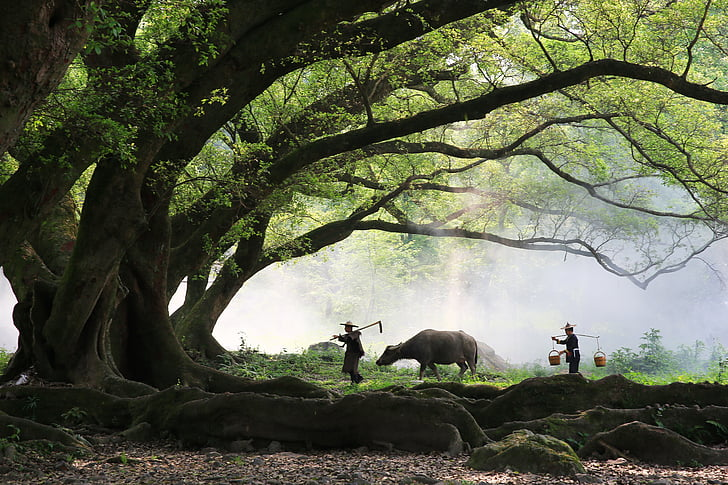 farmer, big trees, cow, morning, worker, nature, animal