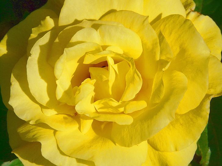 上升, 玫瑰绽放, 黄色, 花瓣, 美丽, 香味, 香