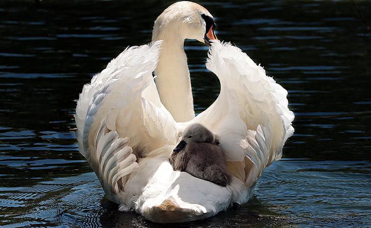 лебед, бебе лебед, бяло, Белият лебед, вода, езеро, птица