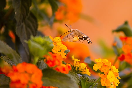 hummingbird hawk moth, orange, nectar, one animal, animals in the wild, orange color, animal wildlife
