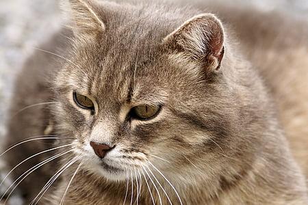 котка, кожа, домашен любимец, животните, котешки очи, очите, Тигър котка
