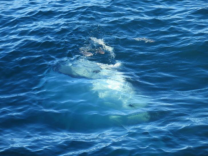 Whale, viken, Mexico, fullformat, ett djur, rörelse, havet