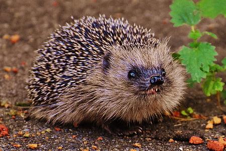 životinja, ljutiti se, Zatvori - gore, Krupni plan, jež, lišće, mali