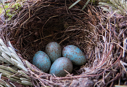 blackbird, nest, bird's nest, egg, bird eggs, blue, hatching
